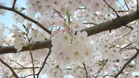桜の花ベストショット