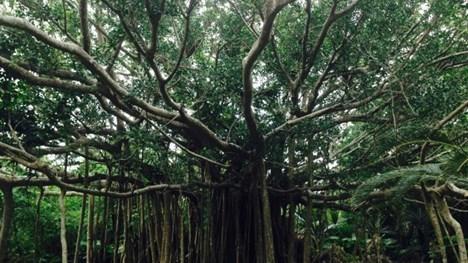 沖縄のイメージ がじゅまるの木